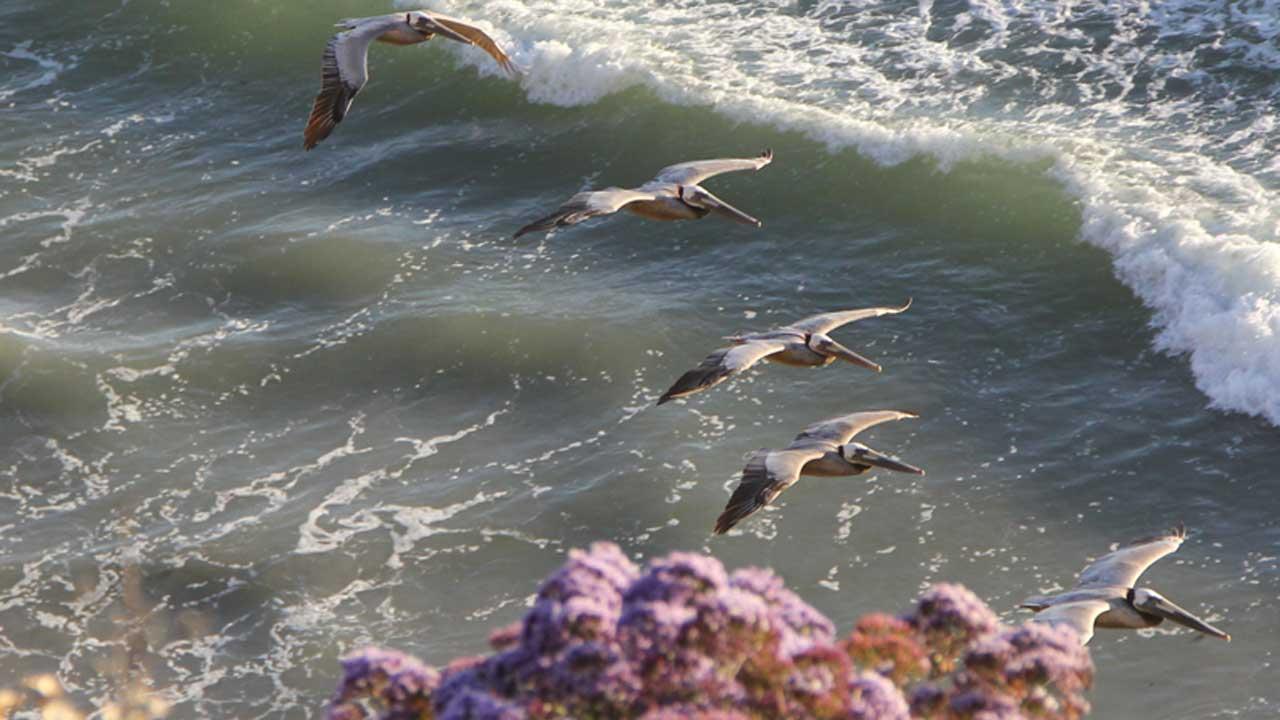 Encinitas-CA-pelicans-ocean-bluff