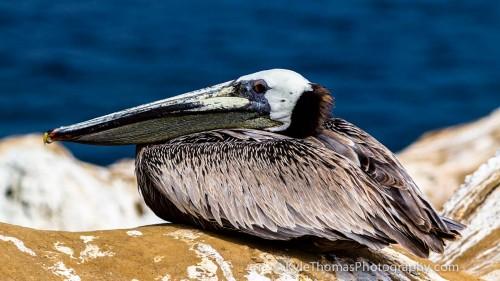 Pelican-LaJolla-CA-Kyle-Thomas-Photography