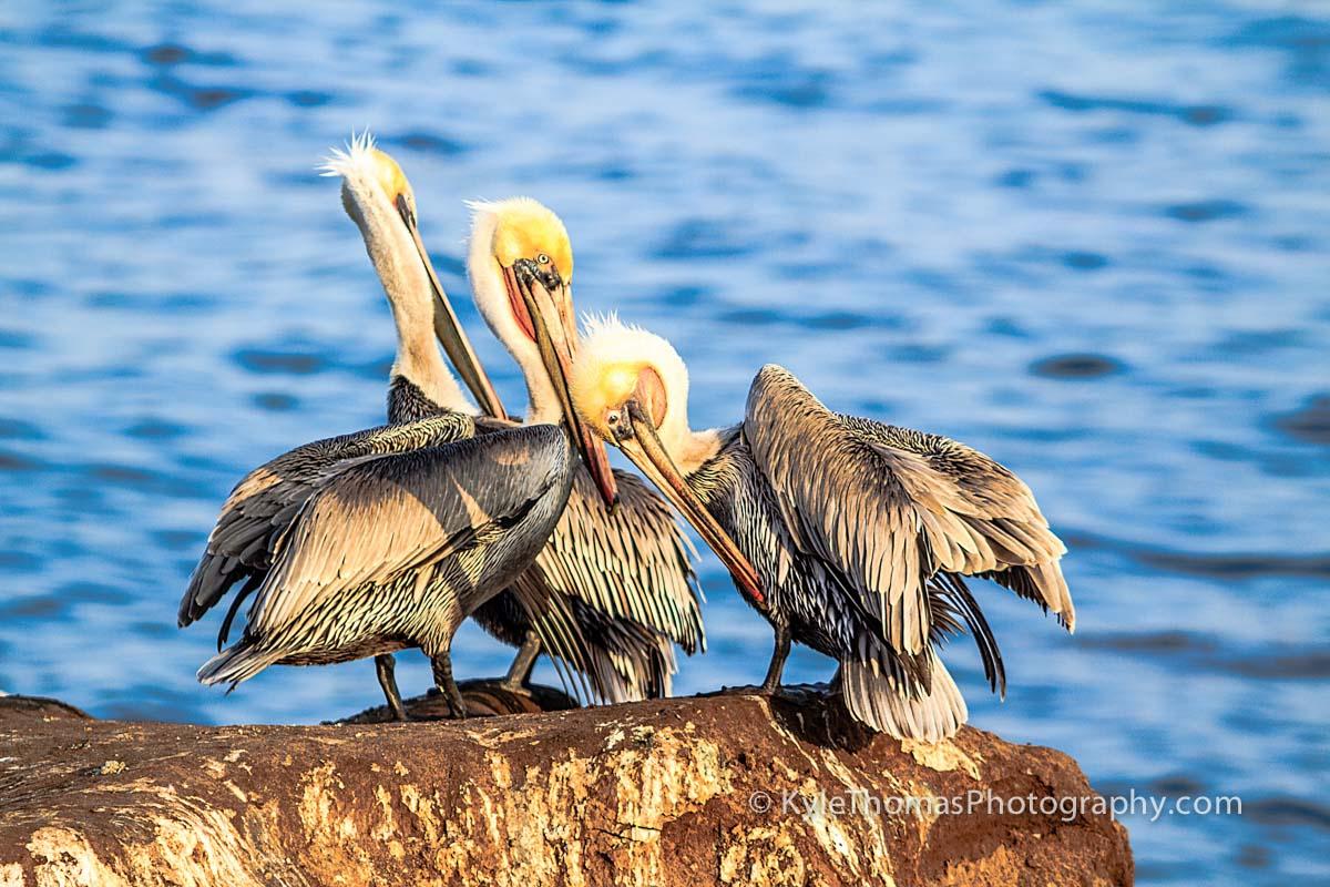 Pelican-Trio-La-Jolla-San-Diego-CA