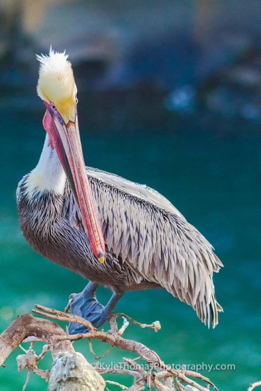 Googly-Eyes-Pelican-La-Jolla-CA