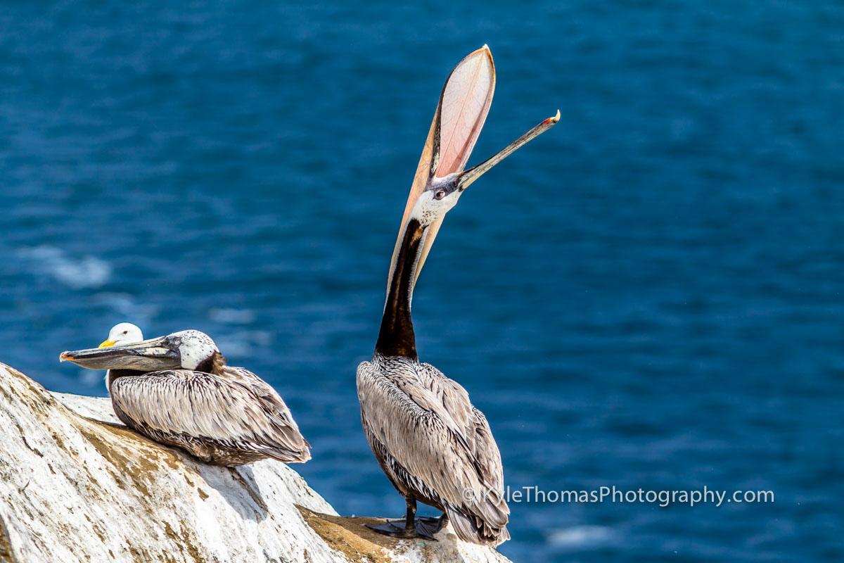 Pelicans-LaJolla-CA-Kyle-Thomas-Photography