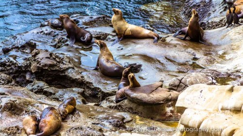 SeaLions-LaJolla-CA-Kyle-Thomas-Photography