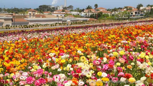 Carlsbad-CA-Flower-Fields-Kyle-Thomas-Photography