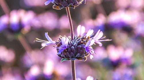 California-Purple-Sage-wildflower-Kyle-Thomas-Photography