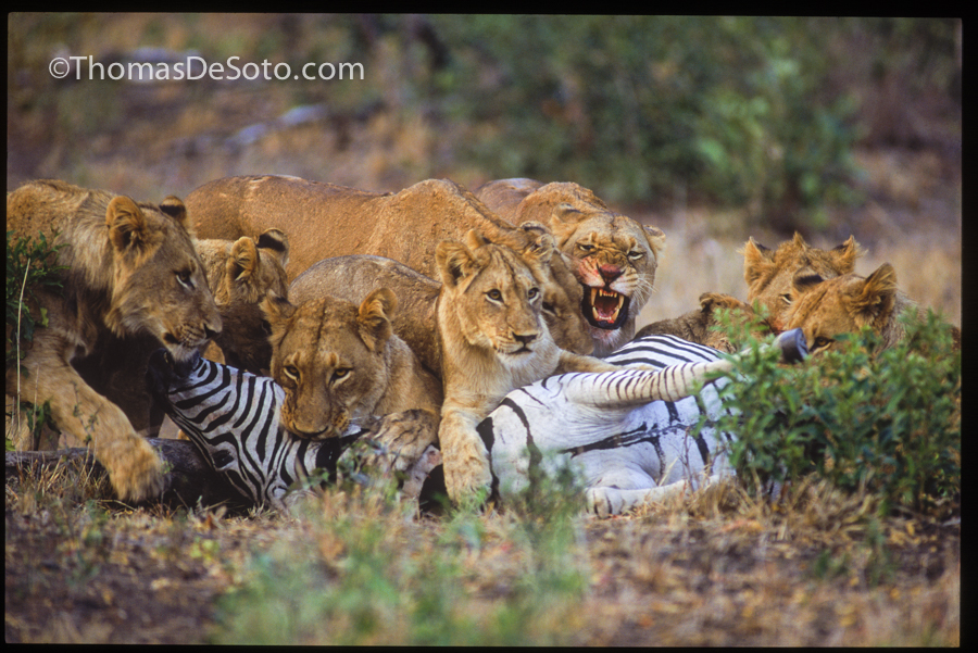Thomas-DeSoto-Photography-Lions-Nine-Lives-South-Africa